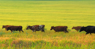 Cows and green pasture. Herd of steppe cows of brown painting on background of green pasture in sunny day stock photography
