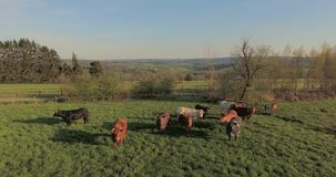 Cows on green pasture. Aerial view of cows on green pasture in spring on a warm sunny day at sunset in Belgium. Calm, scenic countryside view stock video footage