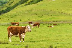 Cows on Green Pasture Stock Photos