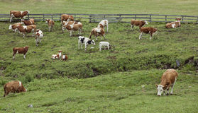 Cows in green pasture. Cows grazing on hillside in a green pasture Royalty Free Stock Photo