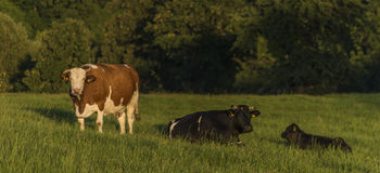 Cows on green pasture land Stock Photos