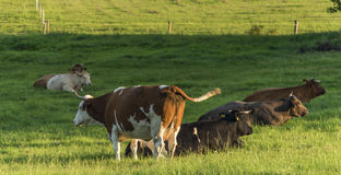 Cows on green pasture land Royalty Free Stock Images