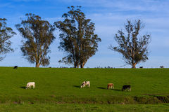 Cows in a green pasture with large trees Stock Images
