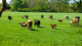 Cows in a green pasture. Royalty Free Stock Images