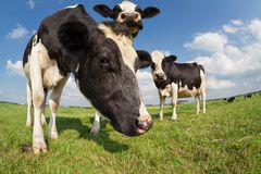 Few cows on green pasture over blue sky. Cows on green pasture over blue sky Stock Photography