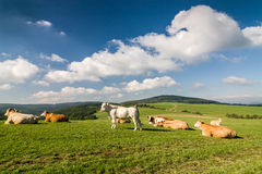 Cows on the green pasture under blue sky with clouds Royalty Free Stock Images