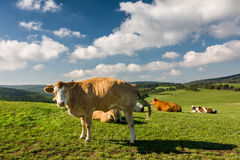 Cows on the green pasture under blue sky with clouds Royalty Free Stock Photos