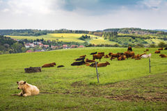 Cows on green pasture under cloudy sky Royalty Free Stock Photos