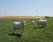 Cows in green pasture Royalty Free Stock Images