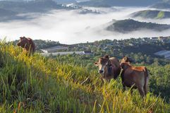 Cows in green plateau with beautiful houses rural and magic fog at the sunrise. Artworks and best pictures use for printing, design, advertising, graphic and royalty free stock photography