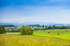 Cows on the green summer field. Many beautiful cows on the green summer field in Germany, with mountains on the background royalty free stock photos