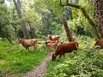 Cows on a green summer meadow in the forest. Cows grazing on a green meadow in the woods Royalty Free Stock Image