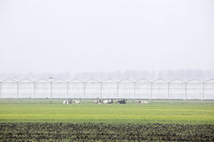 Cows and greenhouses in holland Royalty Free Stock Photo