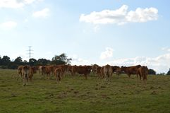 Cows of grey color which. royalty free stock image