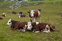 Cows. A group of grazing cows on a mountain pasture Royalty Free Stock Images