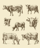 Cows hand draw sketch Stock Photo