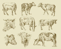 Cows hand draw Stock Photo