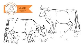 Cows. Hand drawn sketch. Vector illustration Stock Photography