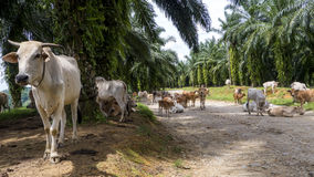 Cows hanging out on jungle road. Group of cows standing around in the middle of a dirt jungle road. Who knows who these cows belong to or why they're here, but Royalty Free Stock Photography