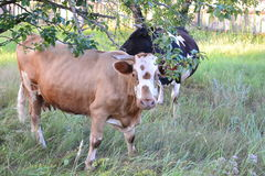 Cows. Happy cows on a meadow Royalty Free Stock Photos