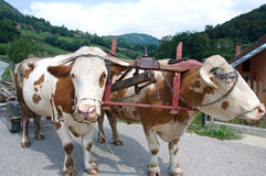 Cows harnessed in an old, rural drawn, Serbia Stock Photo