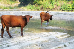 Cows have come on a summer watering place. Stock Photos