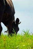 Cows head. The head of the black cows eat grass for pasture royalty free stock images