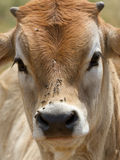 Cows head with flies. Closeup of a cows head with flies Stock Photos