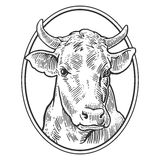 Cows head. Hand drawn in a graphic style. Vintage vector engraving illustration for info graphic, poster, web. Isolated on white b Stock Image