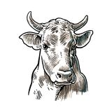 Cows head. Hand drawn in a graphic style. Vintage vector engraving illustration for info graphic, poster, web.  Stock Photography