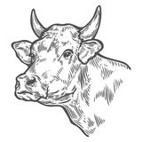 Cows head. Hand drawn sketch in a graphic style. Vintage vector engraving illustration Royalty Free Stock Images
