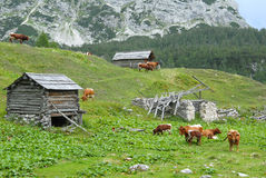 Cows in the heart of alps Stock Photos