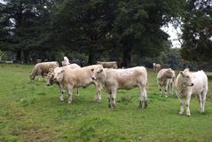 Cows. heifers. cattle Royalty Free Stock Image