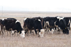 Cows herd. Herd of cows on the field Stock Photos