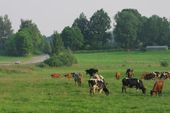 Cows herd. Royalty Free Stock Photography