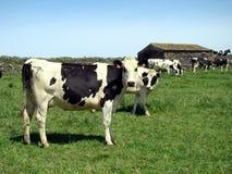 Cows herd. On a green field farm Stock Photos