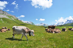 Cows. Herd of cows in Alpine meadow stock images