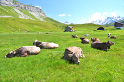 Cows. Herd of cows in Alpine meadow stock photos