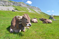 Cows. Herd of cows in alpine meadow. Switzerland royalty free stock photos