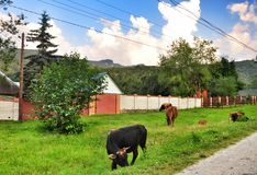 Cows. A herd of cows comes home with pasuma every day at eight oclock in the evening. Krasnodar region. Russia royalty free stock photography