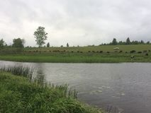 Cows herd in countryside near lake stock photo