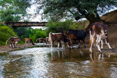 Cows herd drinking clear water from the river. The cow herd at the watering place Stock Photography