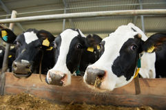 Cows herd at farm stall Stock Images
