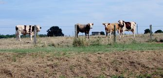 Cows, a herd of cows royalty free stock image