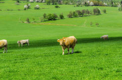 Cows. Herd of cows grazing on a green meadow Stock Image