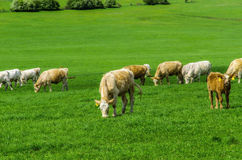 Cows. Herd of cows grazing on a green meadow Royalty Free Stock Photography