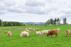 Cows. Herd of cows grazing on a green meadow Stock Images