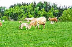 Cows. Herd of cows grazing on a green meadow Royalty Free Stock Image