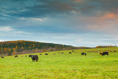 Cows Royalty Free Stock Image