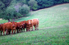 Cows. A herd of cows on a mountain pasture Royalty Free Stock Photography